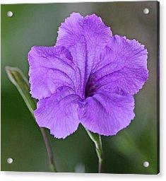 Purple Ruellia Acrylic Print by Becky Lodes