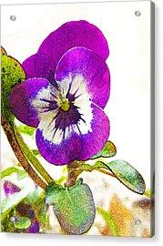 Purple Viola Acrylic Print by Robin Hewitt
