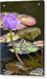 Purple Water Lilly Acrylic Print by Lauri Novak