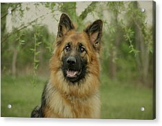 Queena - German Shepherd Acrylic Print by Sandy Keeton