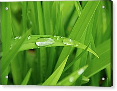 Rain Drops On Grass Acrylic Print by Trever Miller