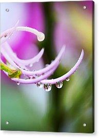 Raindrops On Amherstia Nobilis Acrylic Print by Marilyn Hunt