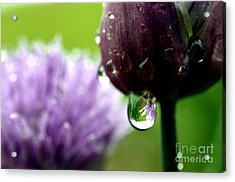 Raindrops On Chives In Bloom Acrylic Print by Thomas R Fletcher