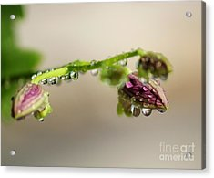 Raindrops On Orchid Buds Acrylic Print by Theresa Willingham