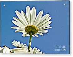 Reach For The Blue Sky Acrylic Print by Darleen Stry