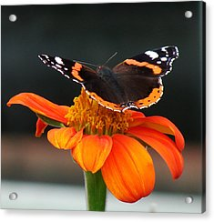Red Admiral Acrylic Print by Nicola Butt