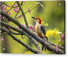 Red Bellied In Tree Acrylic Print by Bill Tiepelman