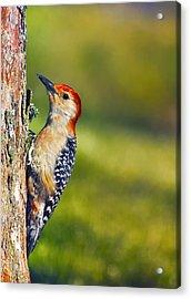 Red-bellied Tree Pecker Acrylic Print by Bill Tiepelman