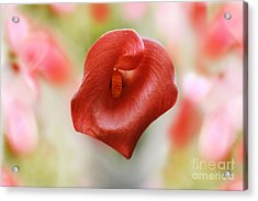 Red Calla Flower Acrylic Print by Anita Antonia Nowack