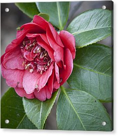 Red Camellia Squared Acrylic Print by Teresa Mucha