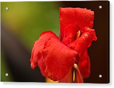 Red Canna Lilly Acrylic Print by Gene Sherrill