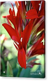 Red Canna Acrylic Print by Susan Herber