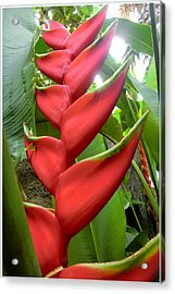 Red Claw Acrylic Print by Mindy Newman