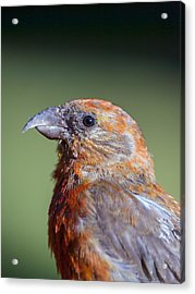 Red Crossbill Acrylic Print by Derek Holzapfel