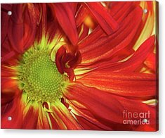 Red Daisy Too Acrylic Print by Sabrina L Ryan