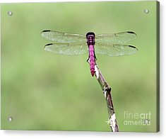Red Dragonfly Dancer Acrylic Print by Sabrina L Ryan