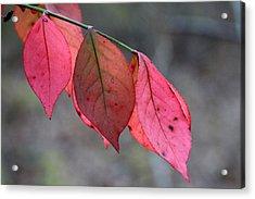 Red Fall Leaf  Acrylic Print by Rick Rauzi