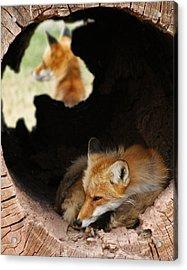 Red Fox Dreaming Acrylic Print by Ernie Echols