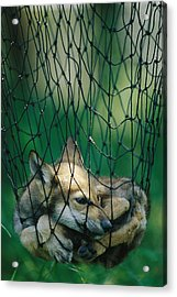 Red Fox Vulpes Vulpes In A Soft Trap Acrylic Print by Joel Sartore