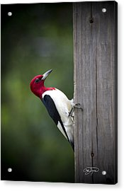 Red Headed Woodpecker Hdr - Artist Cris Hayes Acrylic Print by Cris Hayes