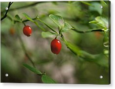 Red Huckleberry Acrylic Print by Angi Parks