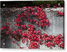 Red Ivy Acrylic Print by John Wong