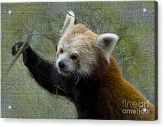Red Panda Acrylic Print by Heiko Koehrer-Wagner