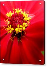 Red Passion Acrylic Print by Cindy Wright