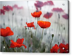 Red Poppies(papaver Rhoeas)  And Polytunnel Acrylic Print by Pascal Preti