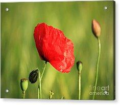 Red Poppy In Field Acrylic Print by Pixel Chimp