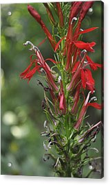 Red Red Flowers Acrylic Print by Brynn Ditsche