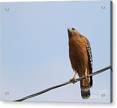 Red-shouldered Hawk . 7d10252 Acrylic Print by Wingsdomain Art and Photography