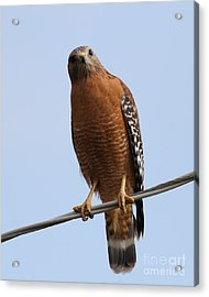 Red-shouldered Hawk . 7d10254 Acrylic Print by Wingsdomain Art and Photography