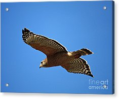Red Shouldered Hawk In Flight Acrylic Print by Carol Groenen