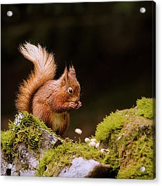 Red Squirrel Eating Nuts Acrylic Print by BlackCatPhotos