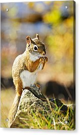 Red Squirrel Acrylic Print by Elena Elisseeva