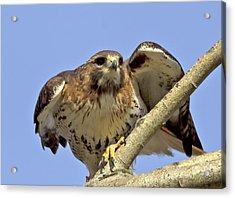 Red Tail Hawk Closeup Acrylic Print by Ron Sgrignuoli