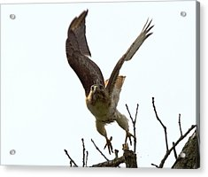 Red Tail Hawk Takeoff Acrylic Print by Ron Sgrignuoli