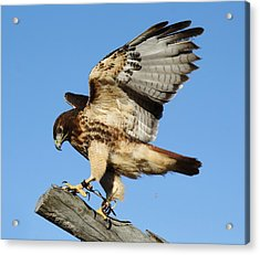 Red Tailed Hawk Acrylic Print by Paulette Thomas