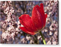 Red Tulip Against Cherry Tree Acrylic Print by Garry Gay