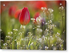 Red Tulips Growing With Sprigs Of Small White Flowers At Wooden Shoe Tulip Farm Acrylic Print by Design Pics / Craig Tuttle