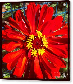 Red Zinnia Acrylic Print by Christine Segalas
