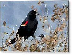 Redwing Blackbird Acrylic Print by Betty LaRue
