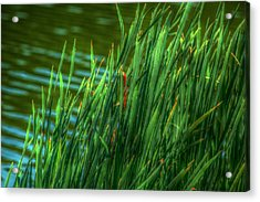 Reed Amoung Grass Acrylic Print by Ronald T Williams