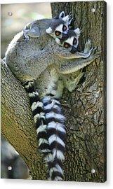 Ring-tailed Lemurs Madagascar Acrylic Print by Cyril Ruoso