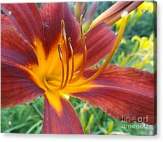 Ripe Blood Orange Acrylic Print by Trish Hale