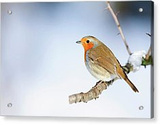 Robin (erithacus Rubecula) Acrylic Print by Andrew Howe