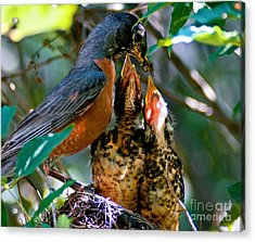 Robin Feeding Young 2 Acrylic Print by Terry Elniski