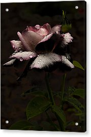 Rose After Dark Acrylic Print by Barbara Middleton
