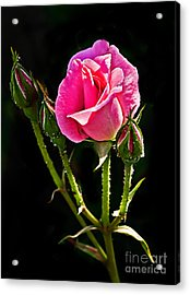 Rose And Buds Acrylic Print by Robert Bales